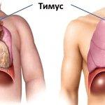 Сравнение тимуса у ребенка и взрослого